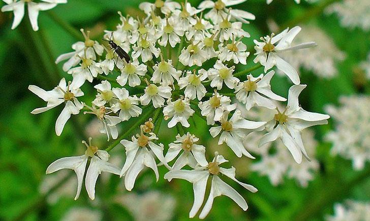 Berce Commune-Heracleum Sphondylium (crédit: H-Zell)