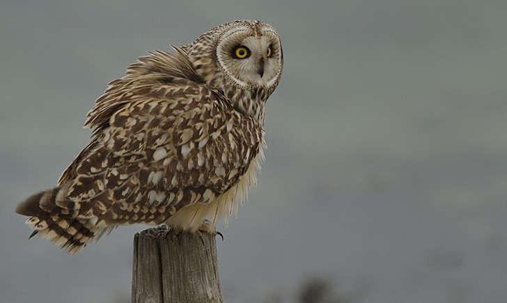 Hibou des marais (Crédits: Bernard Stam - flickr)