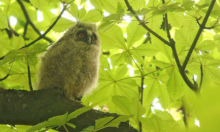 Hibou moyen-duc juvénile (Crédits: Frank Vassen - flickr)