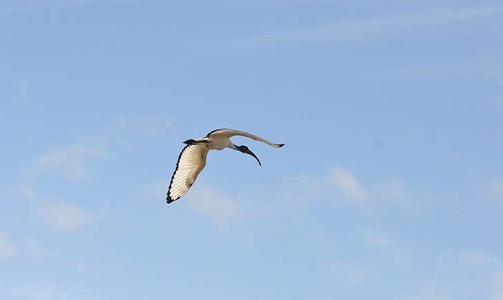 Ibis sacré (Crédits: Clément coutard - flickr)