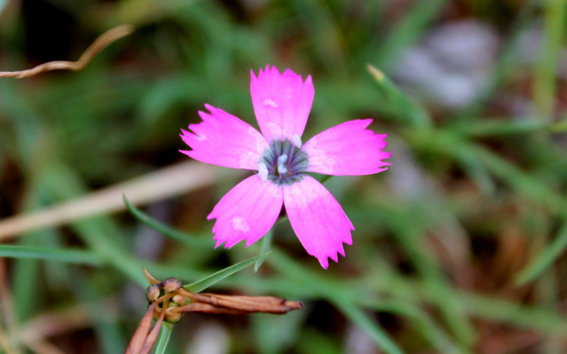 Oeillet négligé - fleur (Crédits : Léa Charbonnier)
