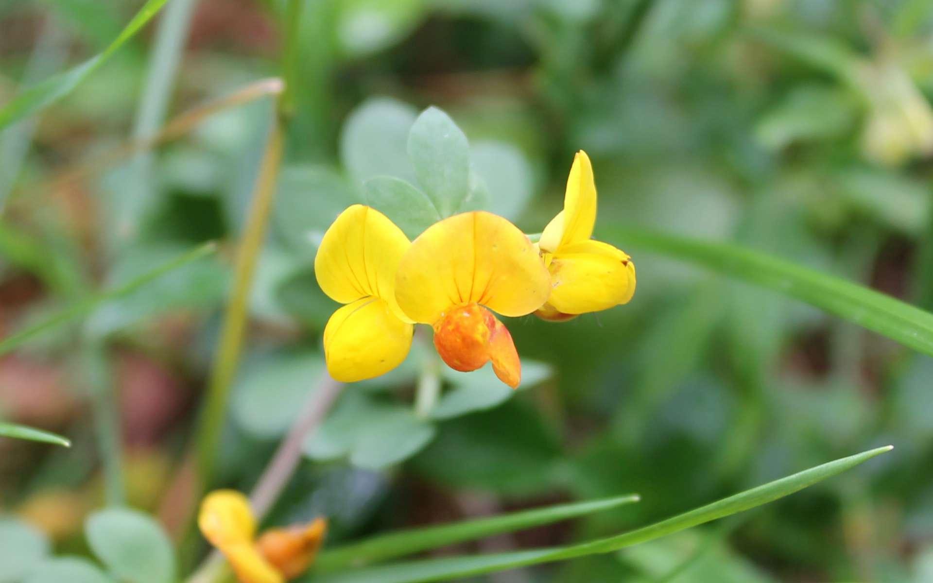 Lotier des Alpes - fleurs (Crédits : Léa Charbonnier)