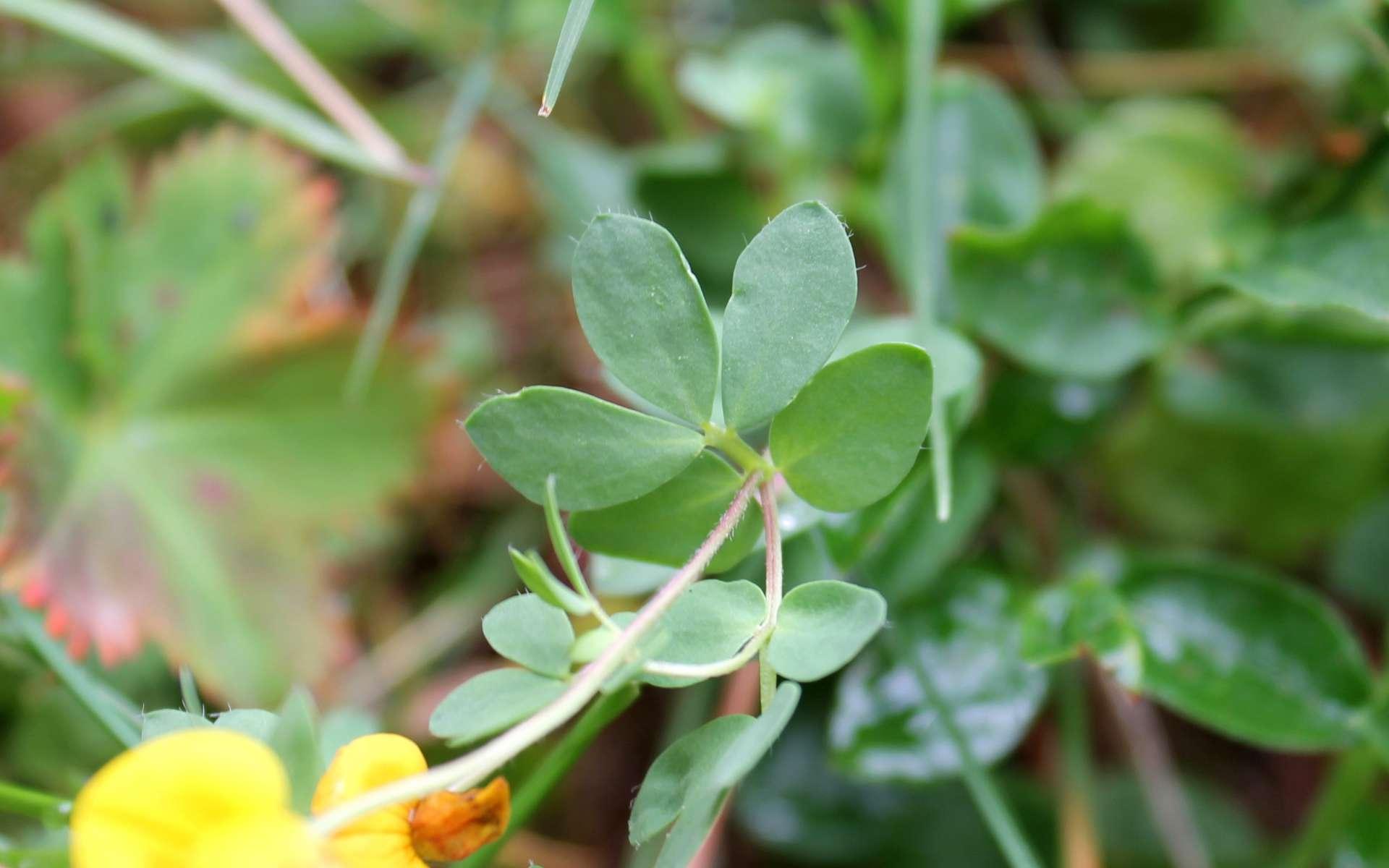 Lotier des Alpes - feuilles (Crédits : Léa Charbonnier)