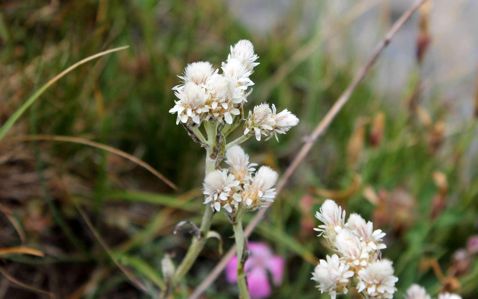 Pied de chat dioïque - fleurs mâles (Crédits : Léa Charbonnier)