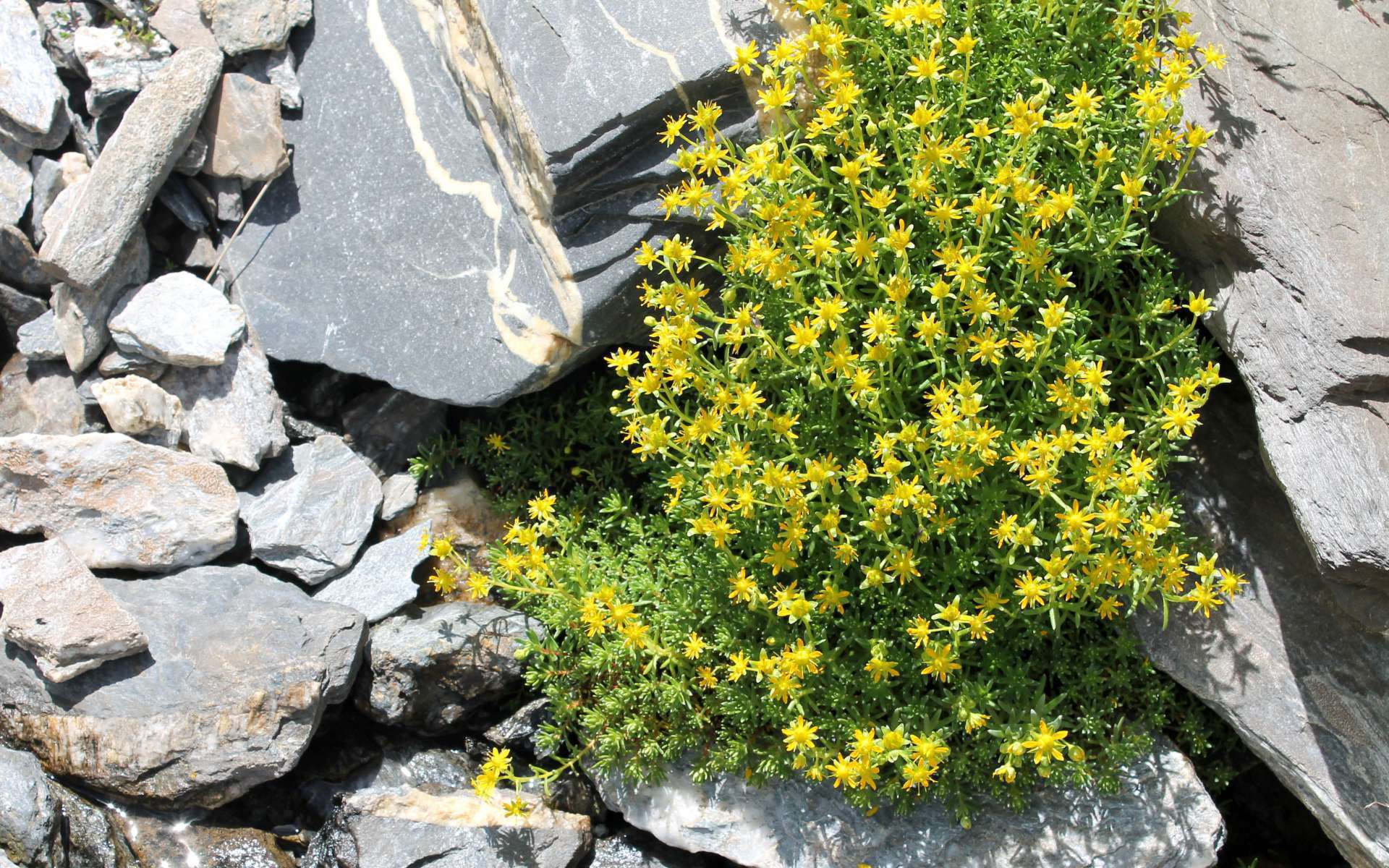 Saxifrage faux-orpin (Crédits : Léa Charbonnier)