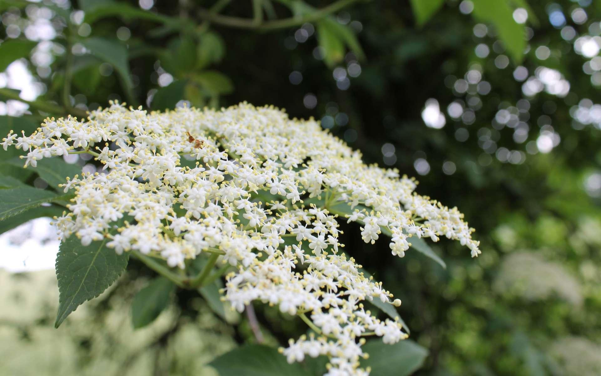 Sureau noir - fleurs (Crédits : Léa Charbonnier)