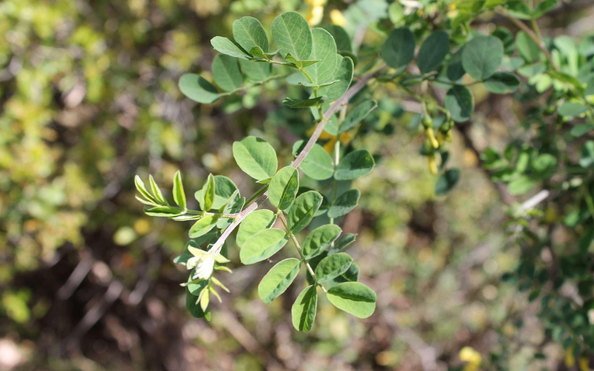 Baguenaudier - feuilles (Crédits : Léa Charbonnier)