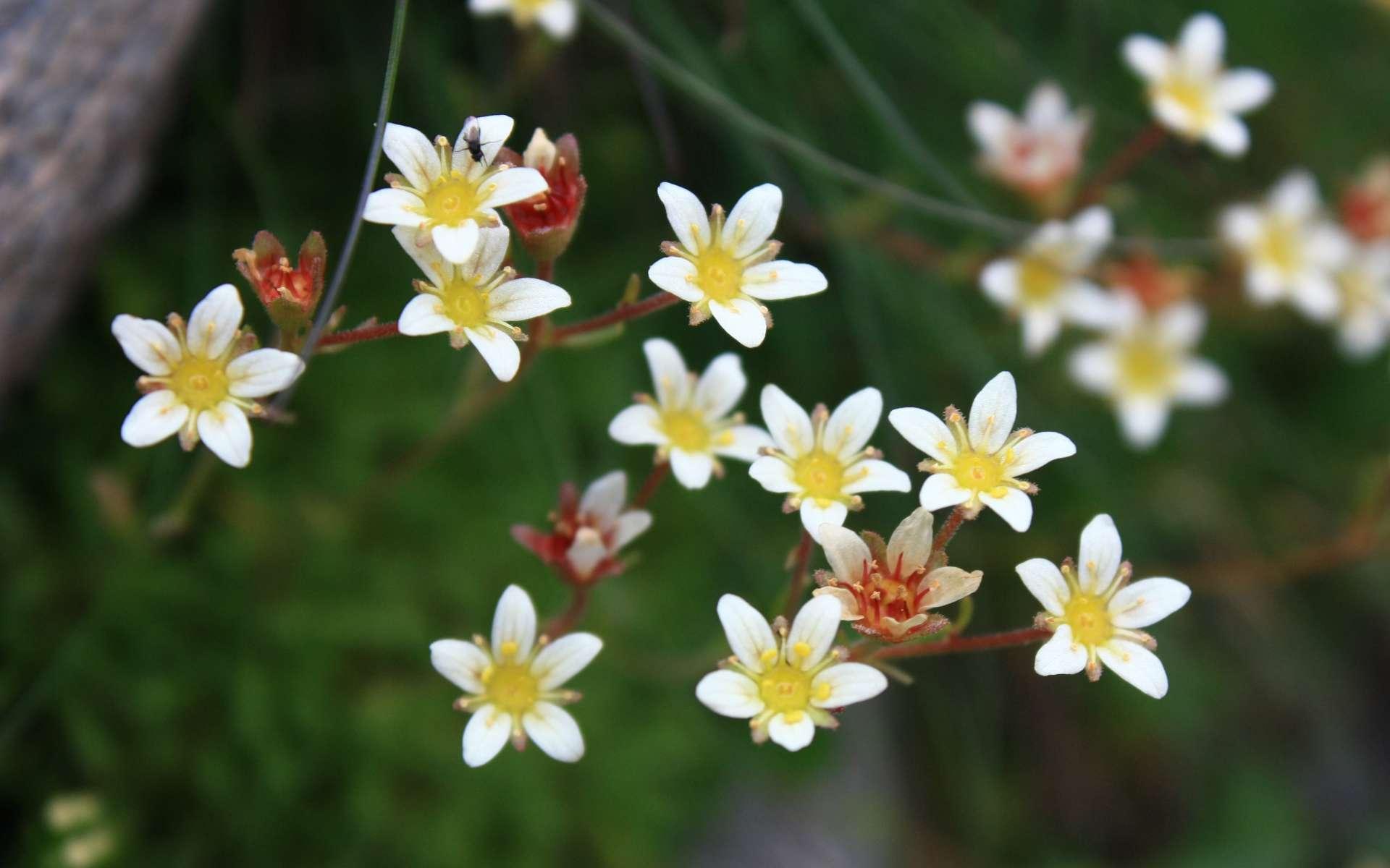 Saxifraga sillonée - fleurs (Crédits : Cyril Gautreau)