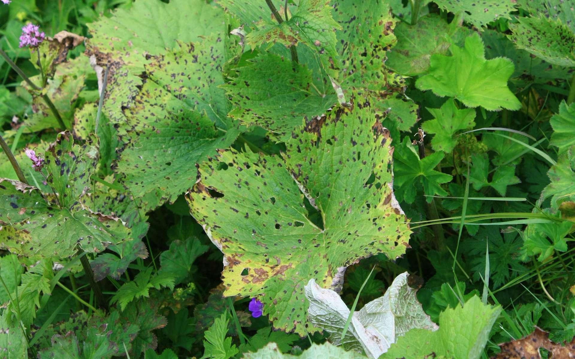 Adénostyle à feuilles d'alliaire - feuilles (Crédits : Cyril Gautreau)