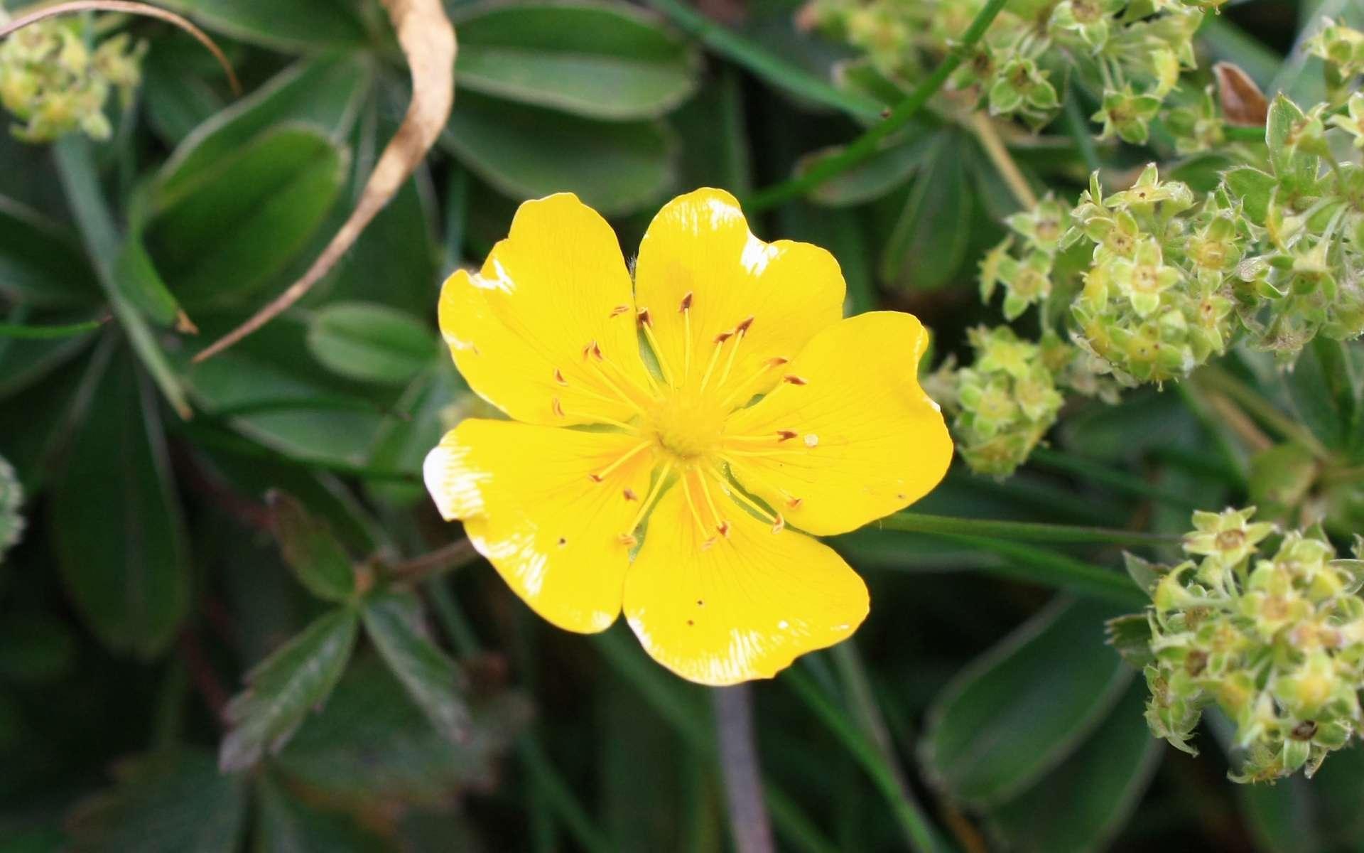 Potentille dorée - fleur (Crédits : Cyril Gautreau)