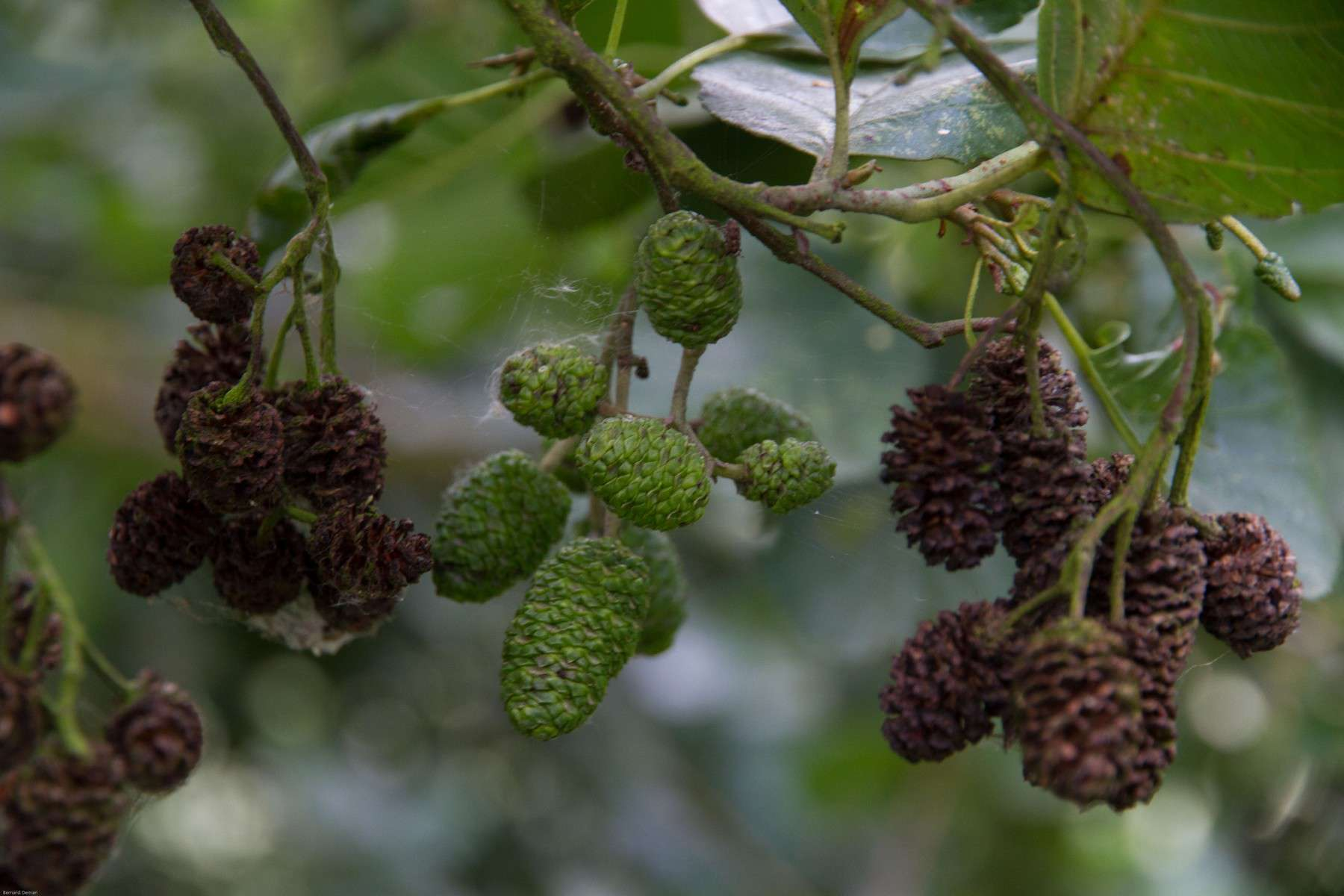 Aulne glutineux - frutis (Crédits: Bernard Deman)