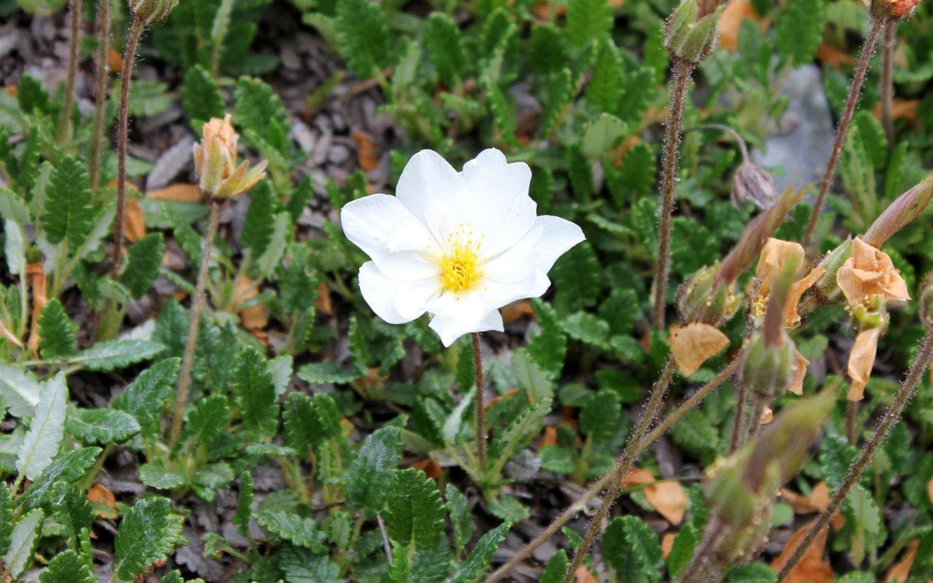 Dryade à huit pétales - fleur (Crédits : Léa Charbonnier)