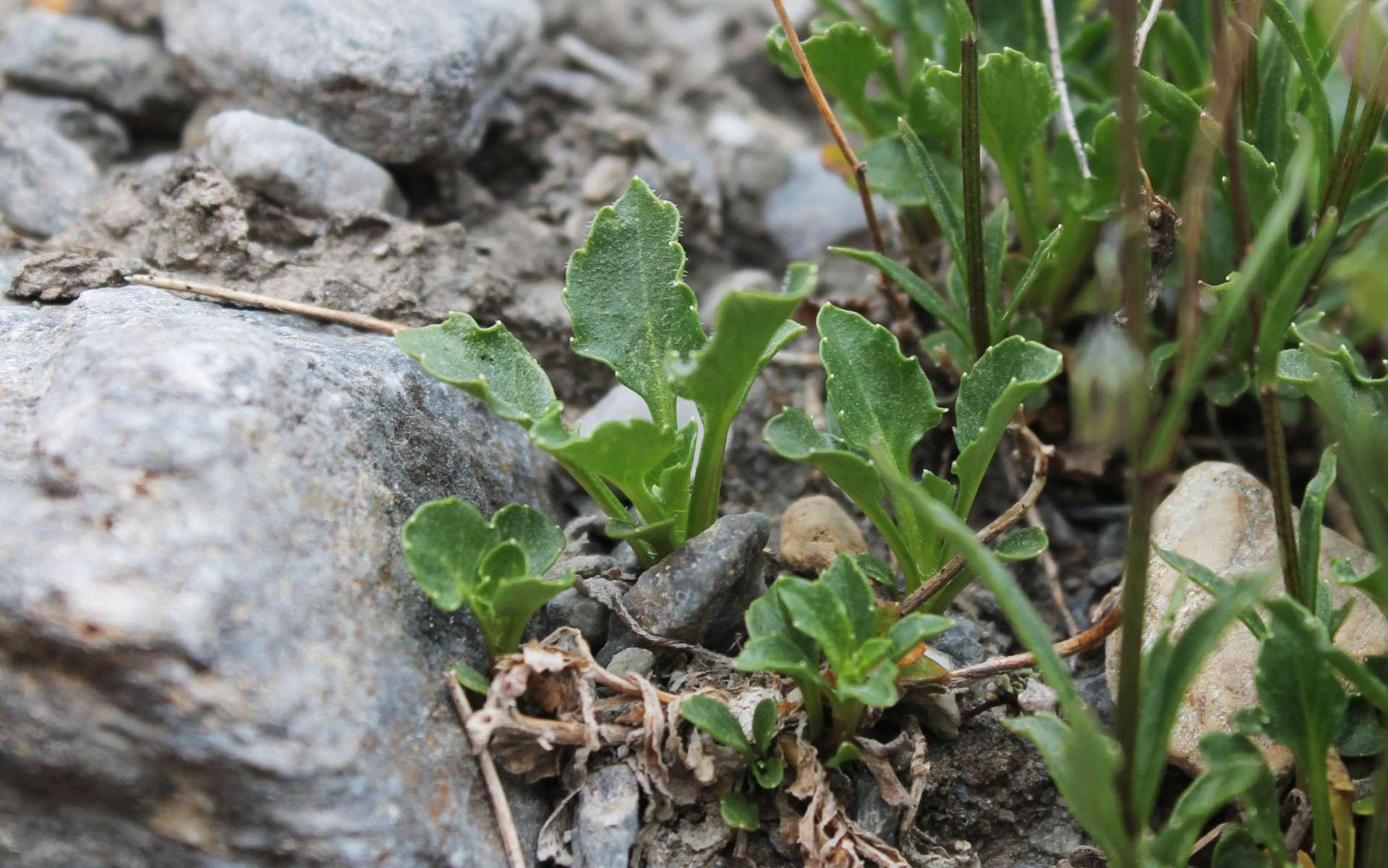 Campanule à feuilles de cochléaire - feuilles (Crédits : Léa Charbonnier)