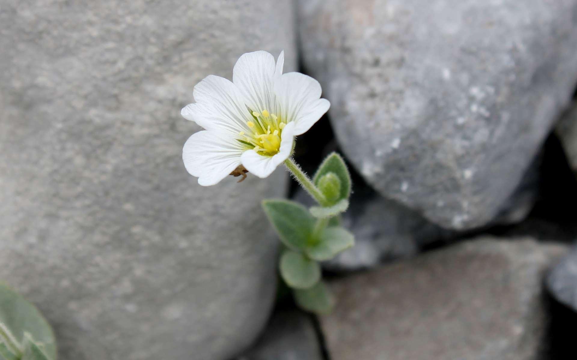 Céraiste à larges feuilles - fleur (Crédits : Léa Charbonnier)
