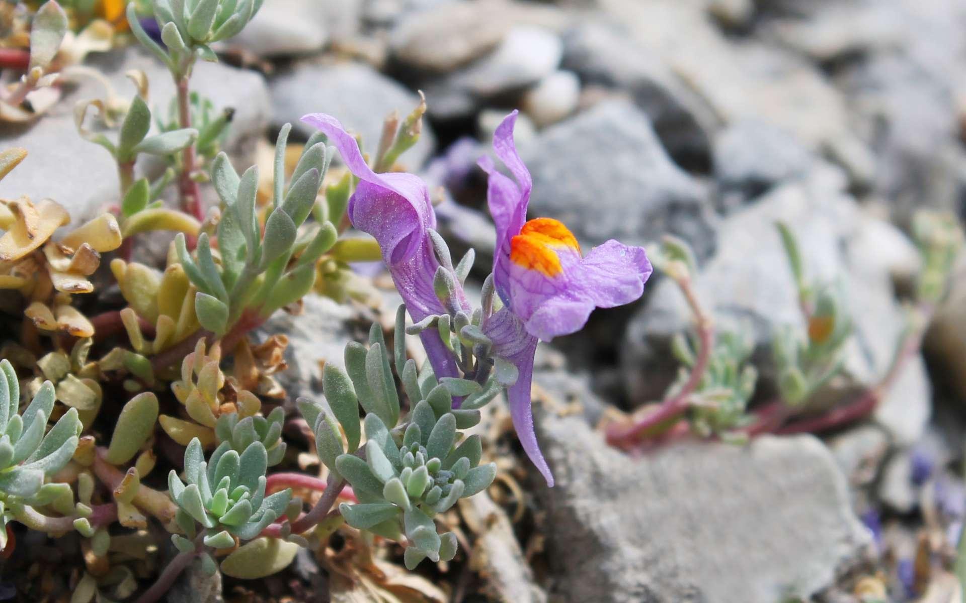 Linaire des Alpes - fleur (Crédits : Léa Charbonnier)