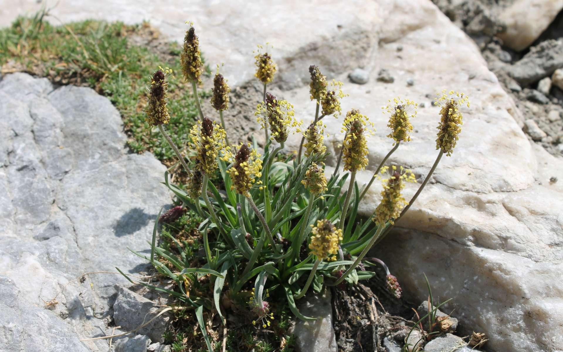 Plantain des Alpes (Crédits : Léa Charbonnier)