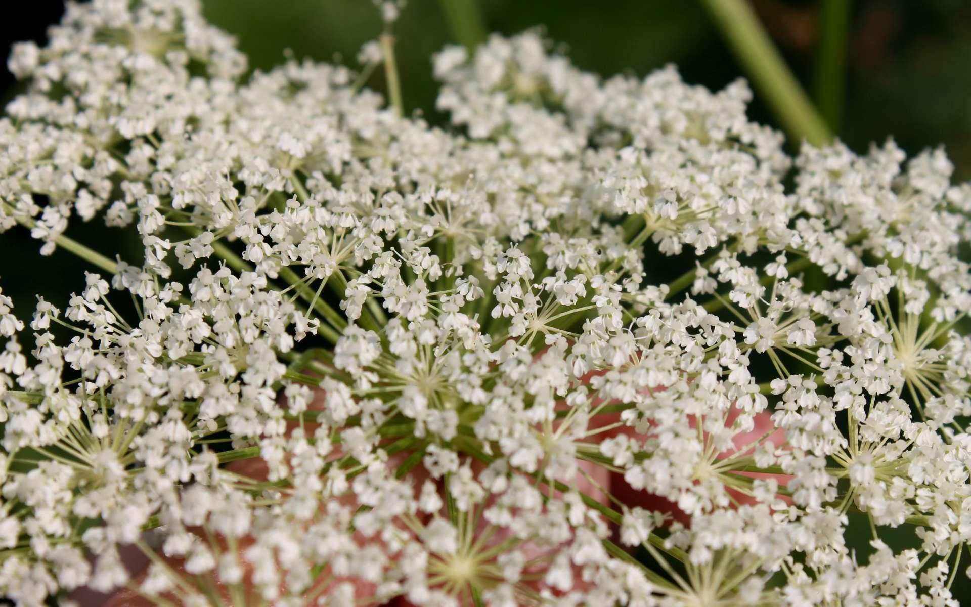 Impératoire - fleurs (Crédits : Léa Charbonnier)