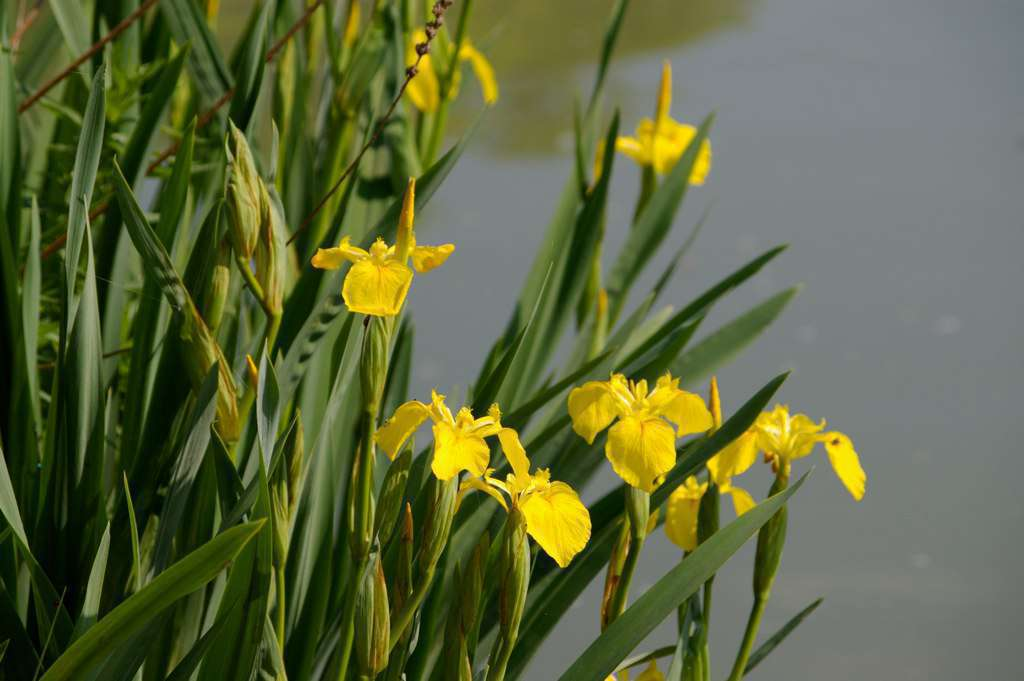Iris jaune - Crédit : Daniel Jolivet