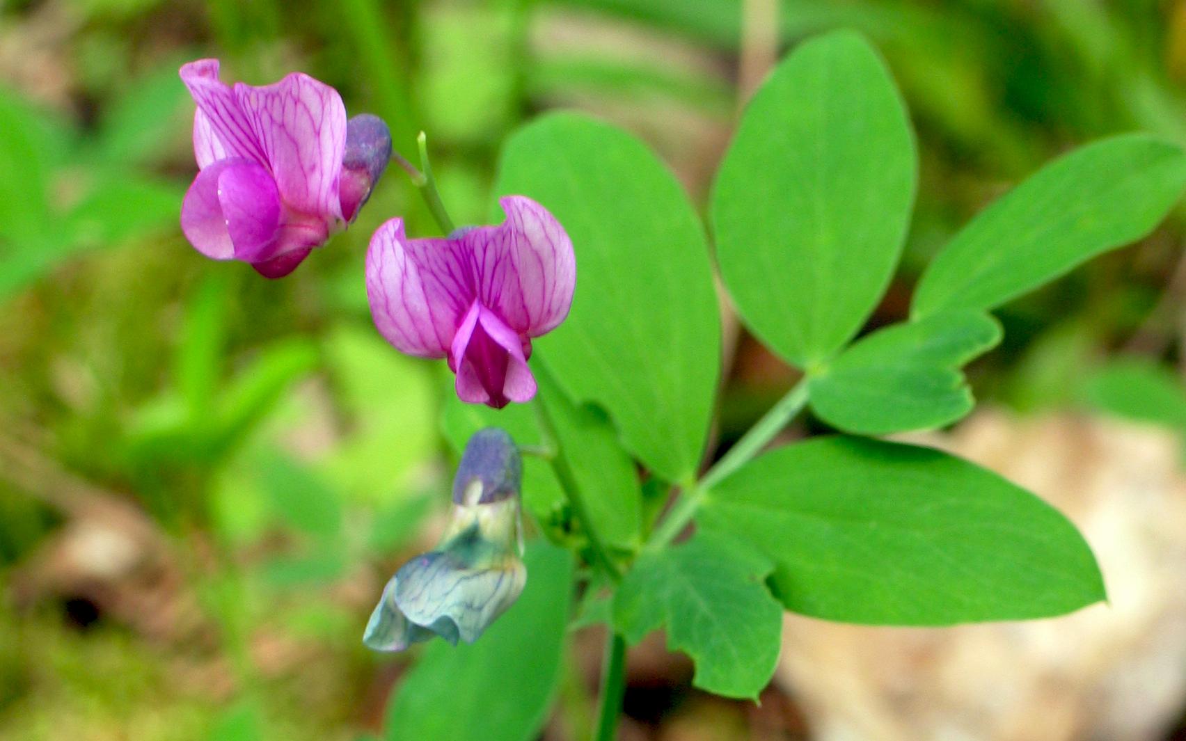 Gesse à feuilles de lin. Crédit : Henna K. - Flickr