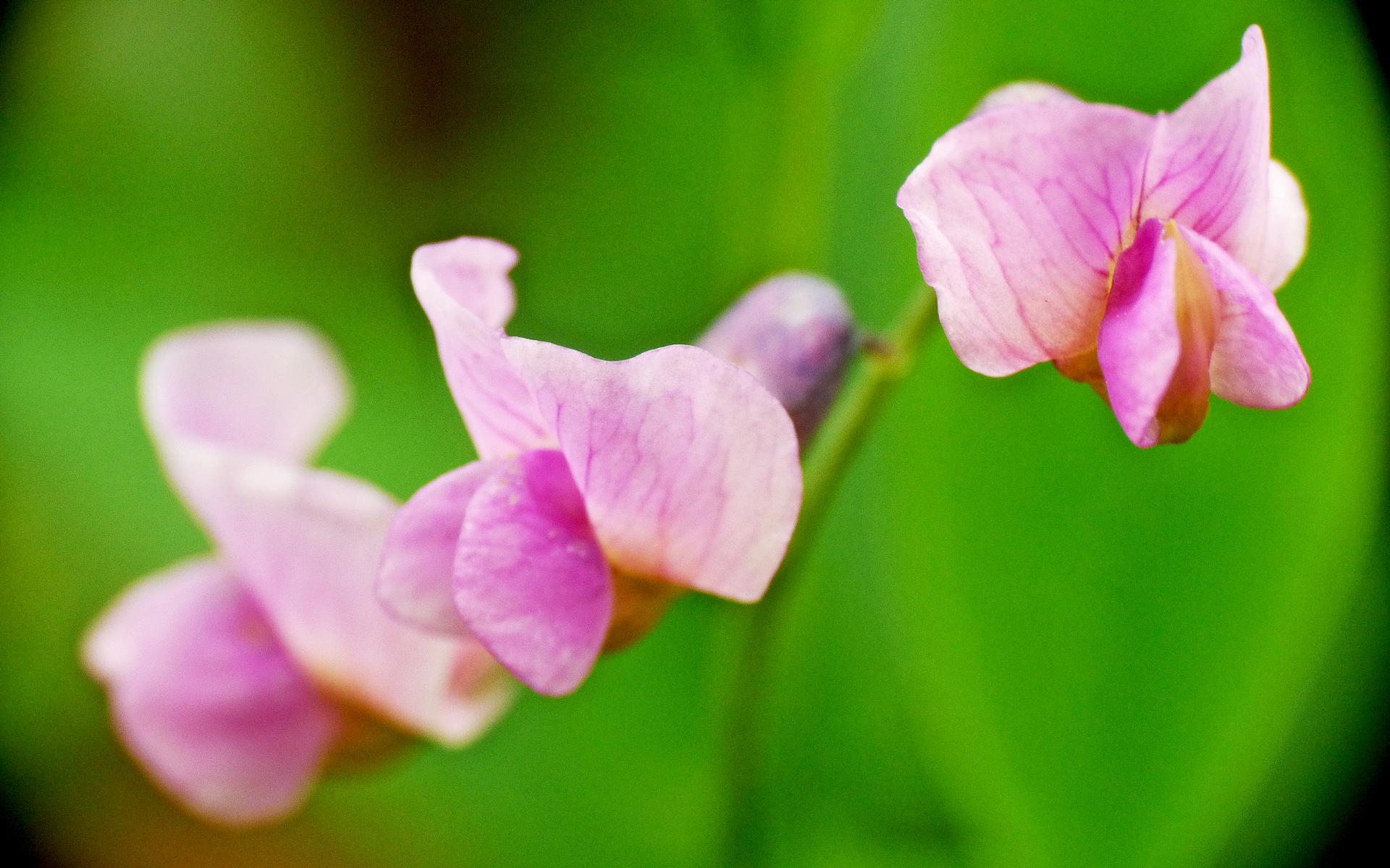 Gesse à feuilles de lin. Crédit : Ian Boyd - Flickr