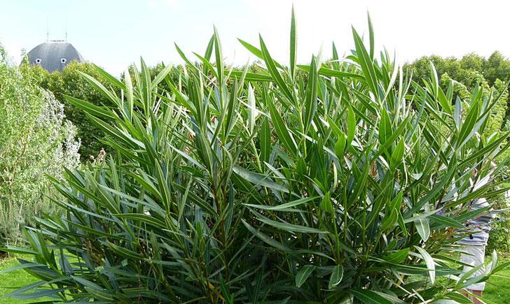 Nerium oleander (crédit: Dinkum)