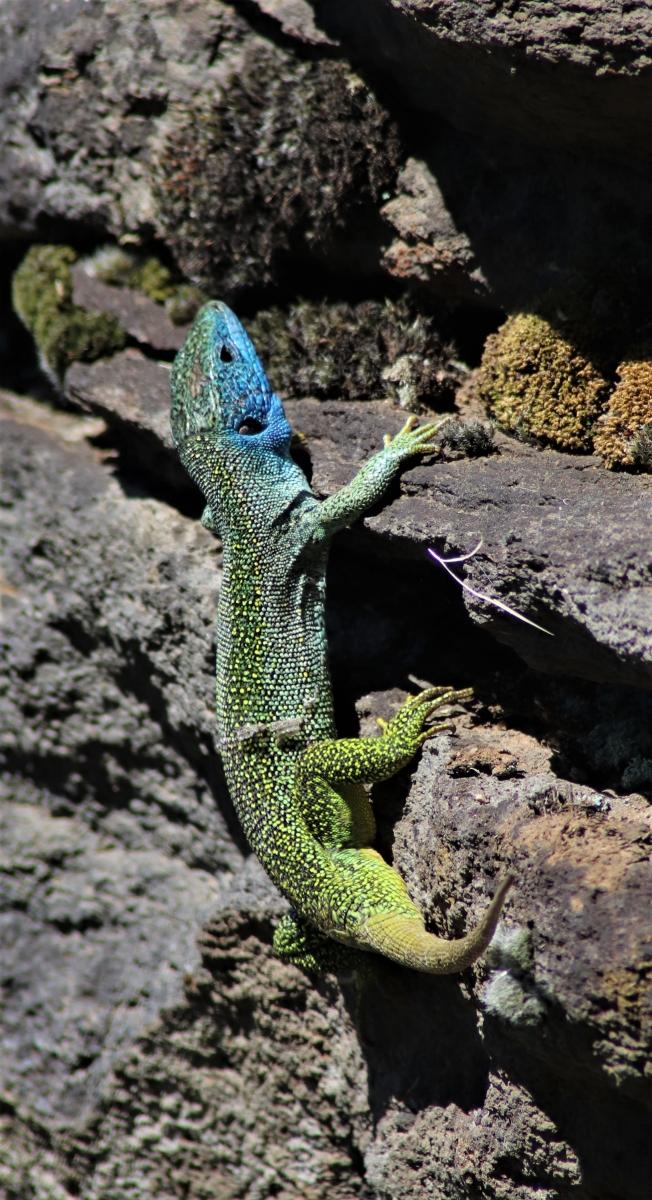 Lézard vert mâle (crédit : Laura Azzolina - Natural solutions)