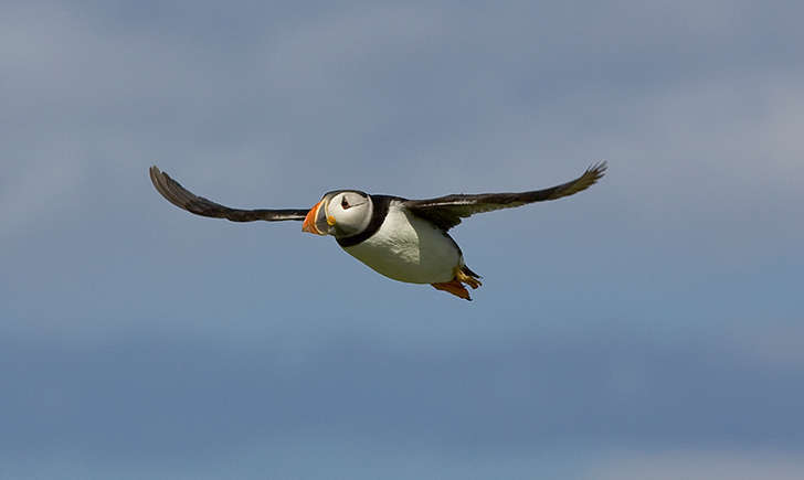 Macareux moine (Crédits: Tony Smith - flickr)