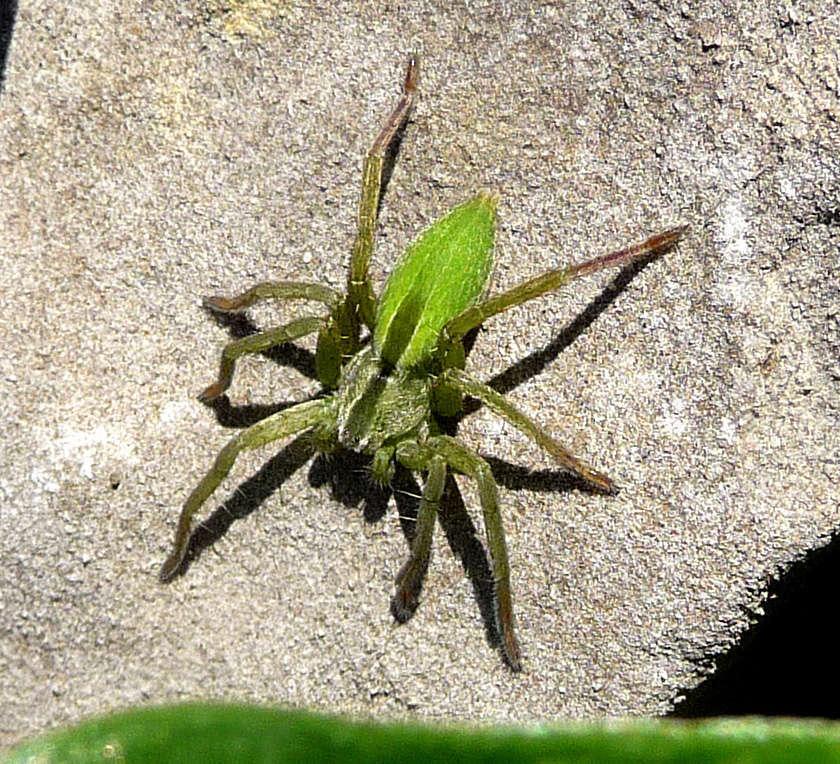 Micrommata