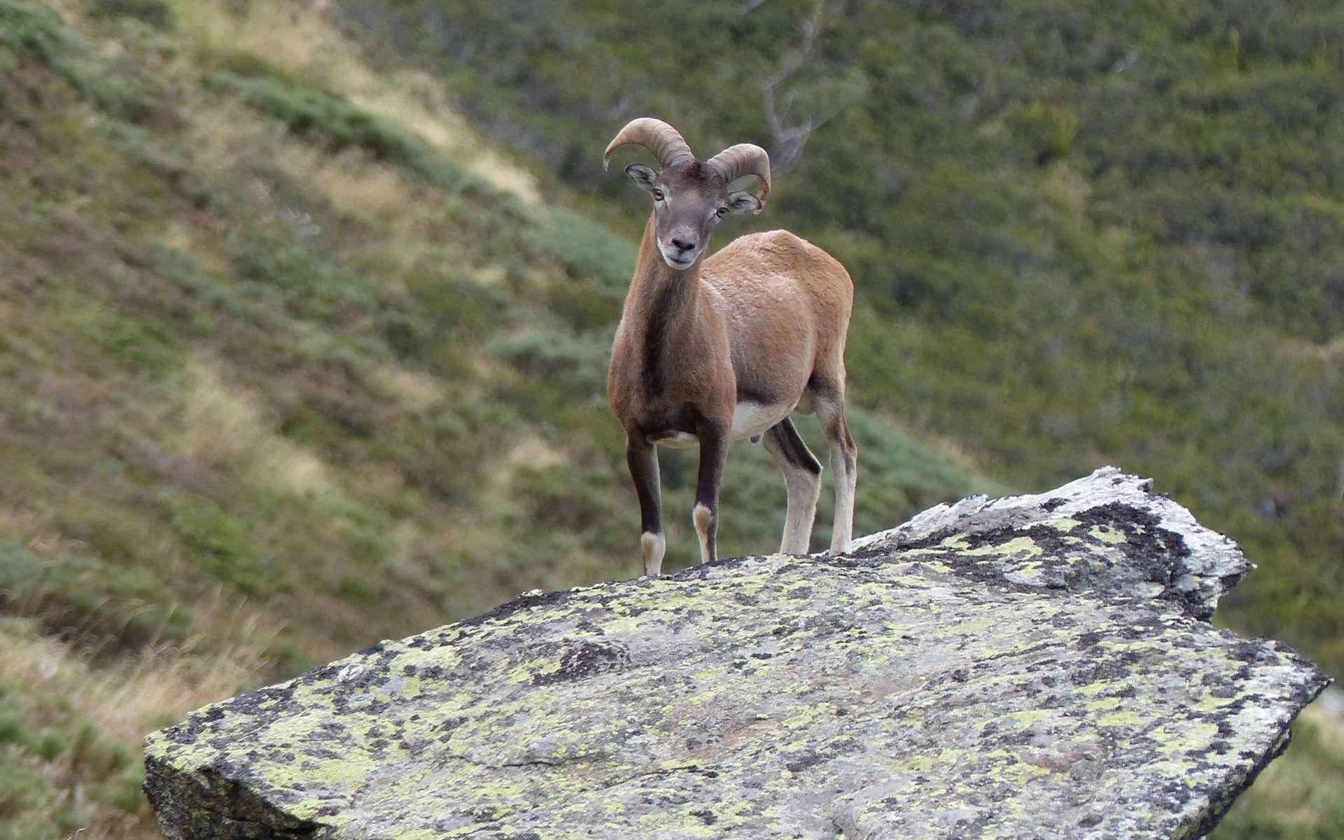 Mouflon corse (Crédits: Céline Ricard)