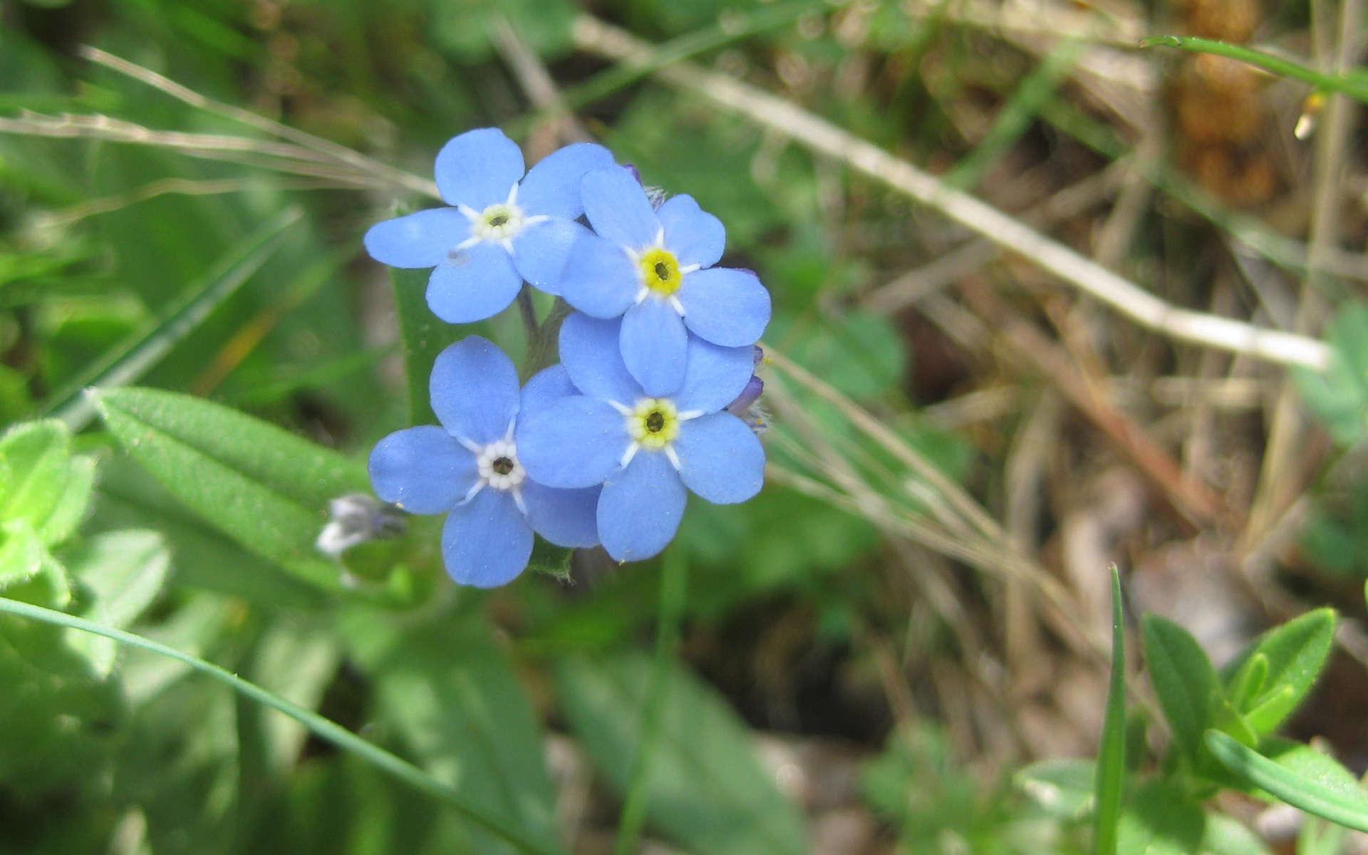 Myosotis des Alpes (Crédits: carmona rodriguez.cc - Flickr)