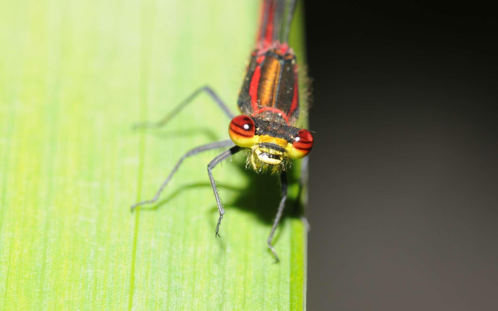 Petite Nymphe à corps de feu (Crédits : Thomas Bresson - Flickr)