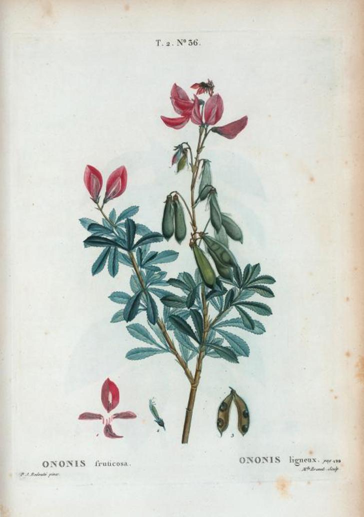 Bugrane arbustive (crédits  Pierre Joseph Redouté)