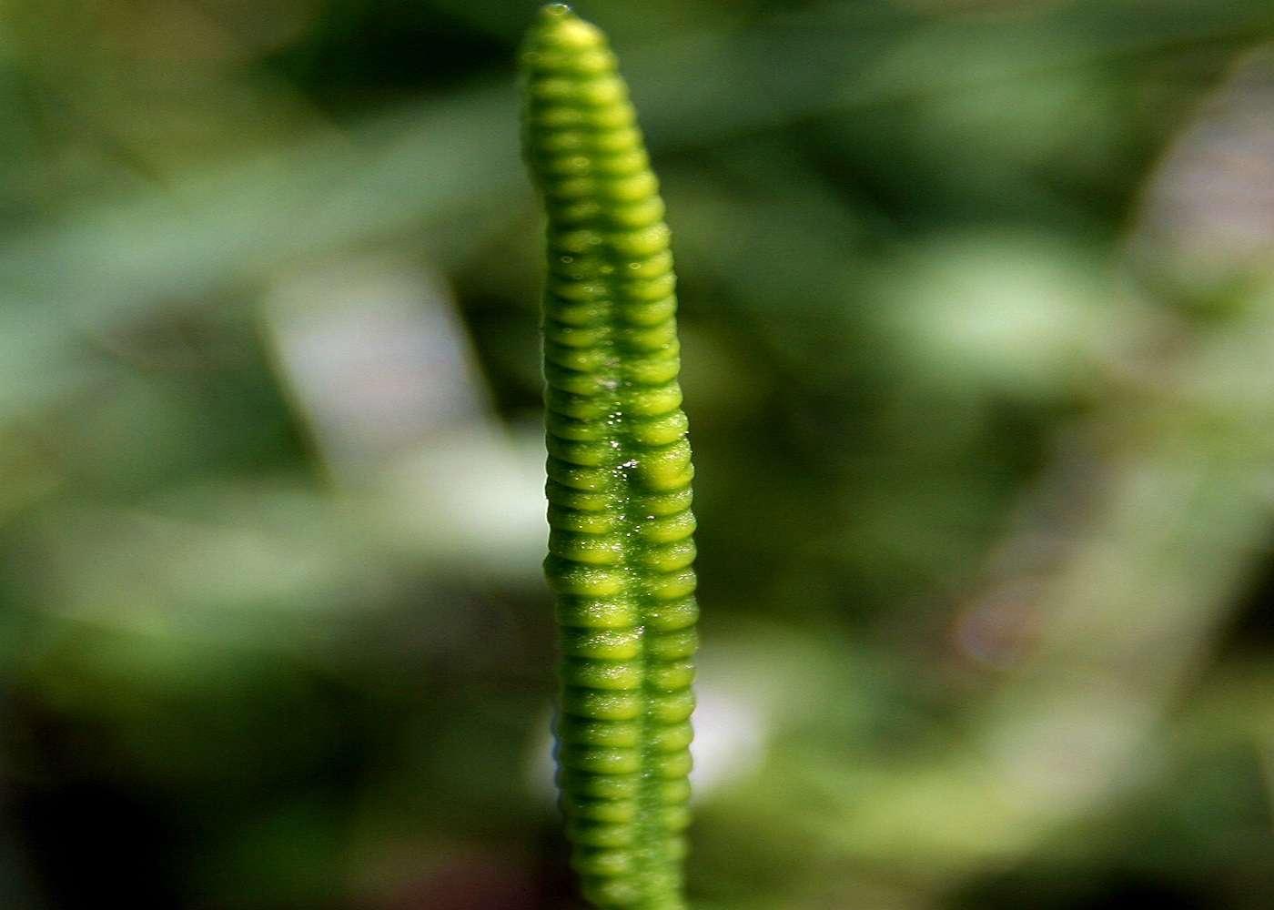 Vue de la fleur d'Ophioglossum vulgatum (© : Commons Wikimédia)
