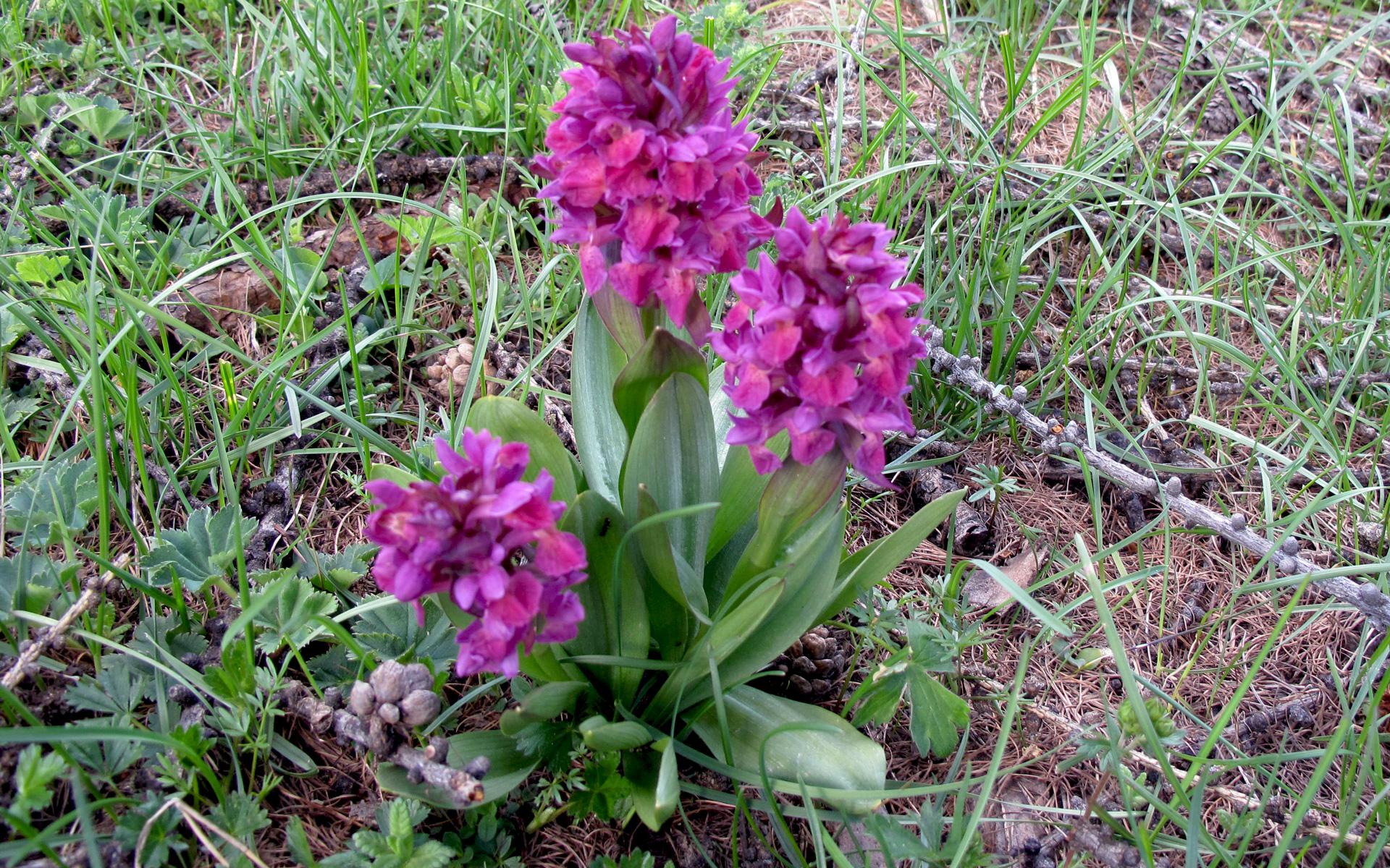 Orchis mâle. Crédit  Olive Titus - Flickr