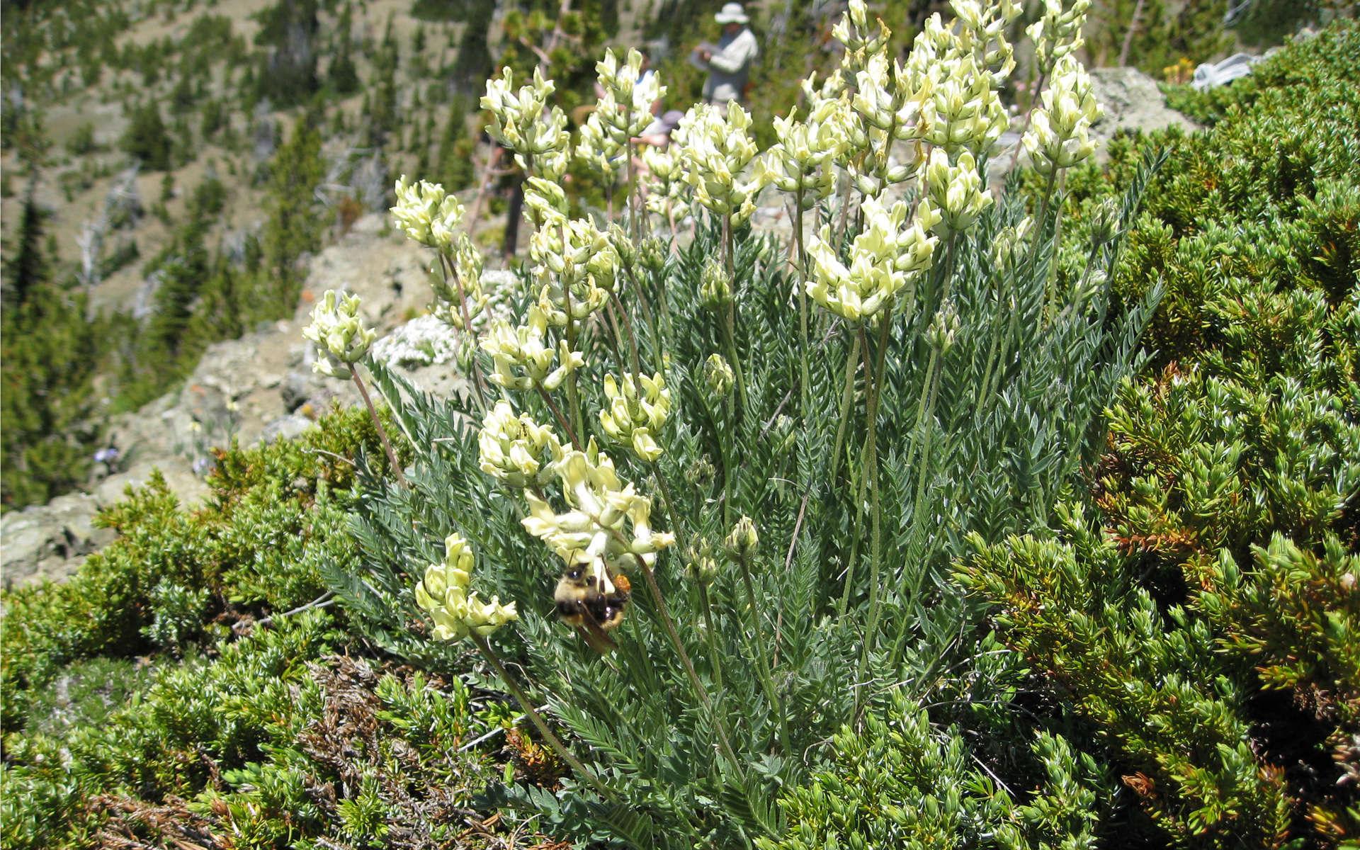 Oxytropis des Alpes (Crédits: brewbooks - Flickr)