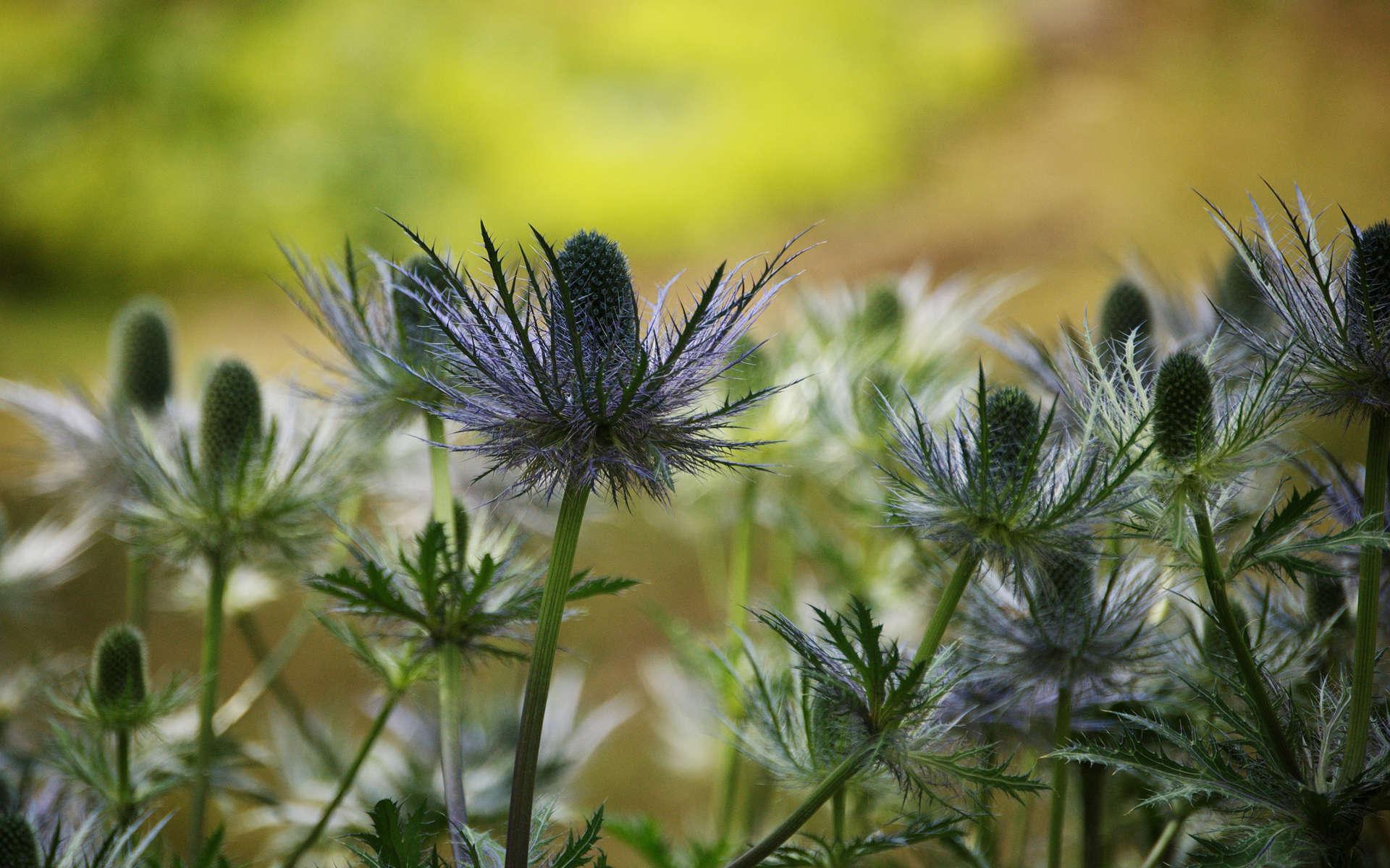 Panicaut bleu des Alpes (Crédits: Antonietta - Flickr)