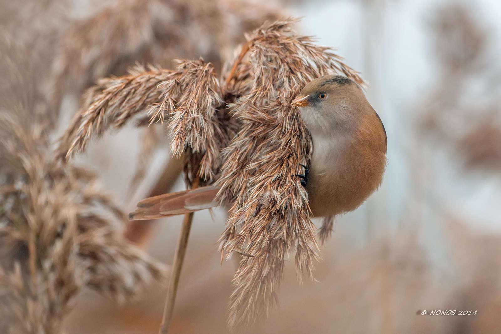 Panure à moustache (Panurus biarmicus) femelle