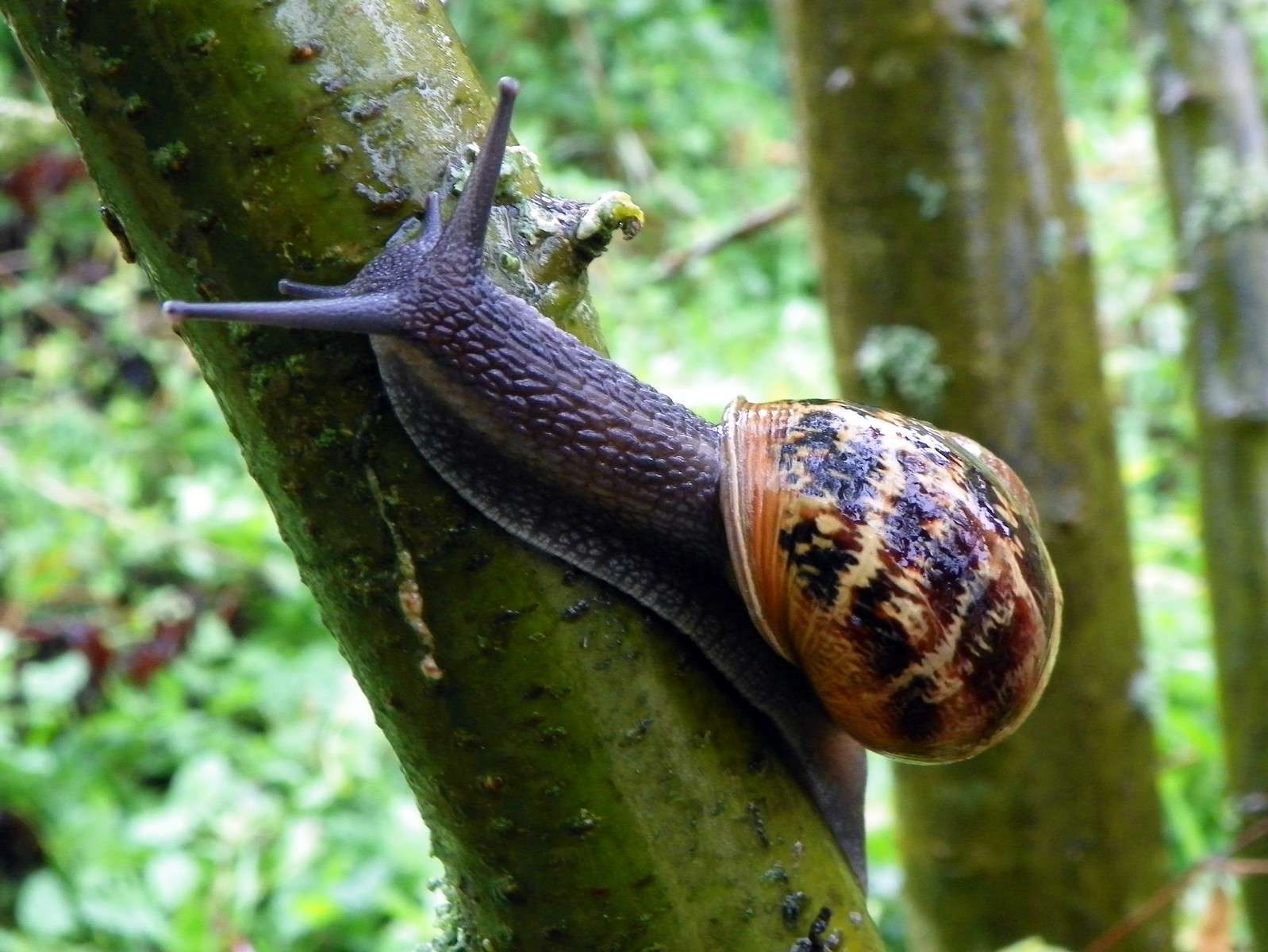 Petit-gris (Helix aspersa) © Peter O'Connor - Flickr