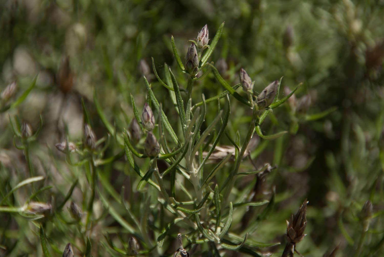 Phagnalon saxatile (Crédit : Cédric Seguin - Natural Solutions)