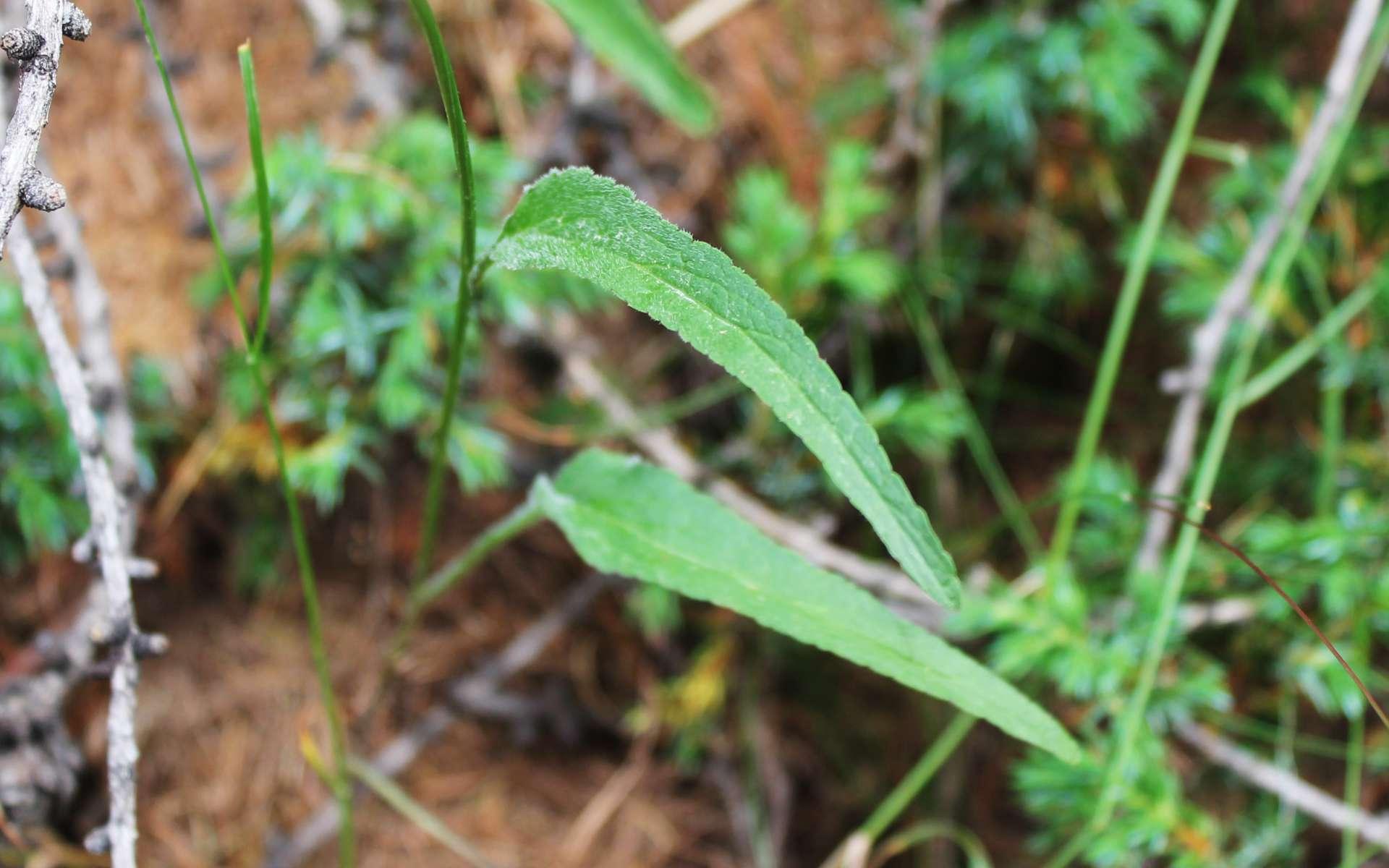 Raiponce à feuilles de bétoine - feuilles (Crédits : Léa Charbonnier)