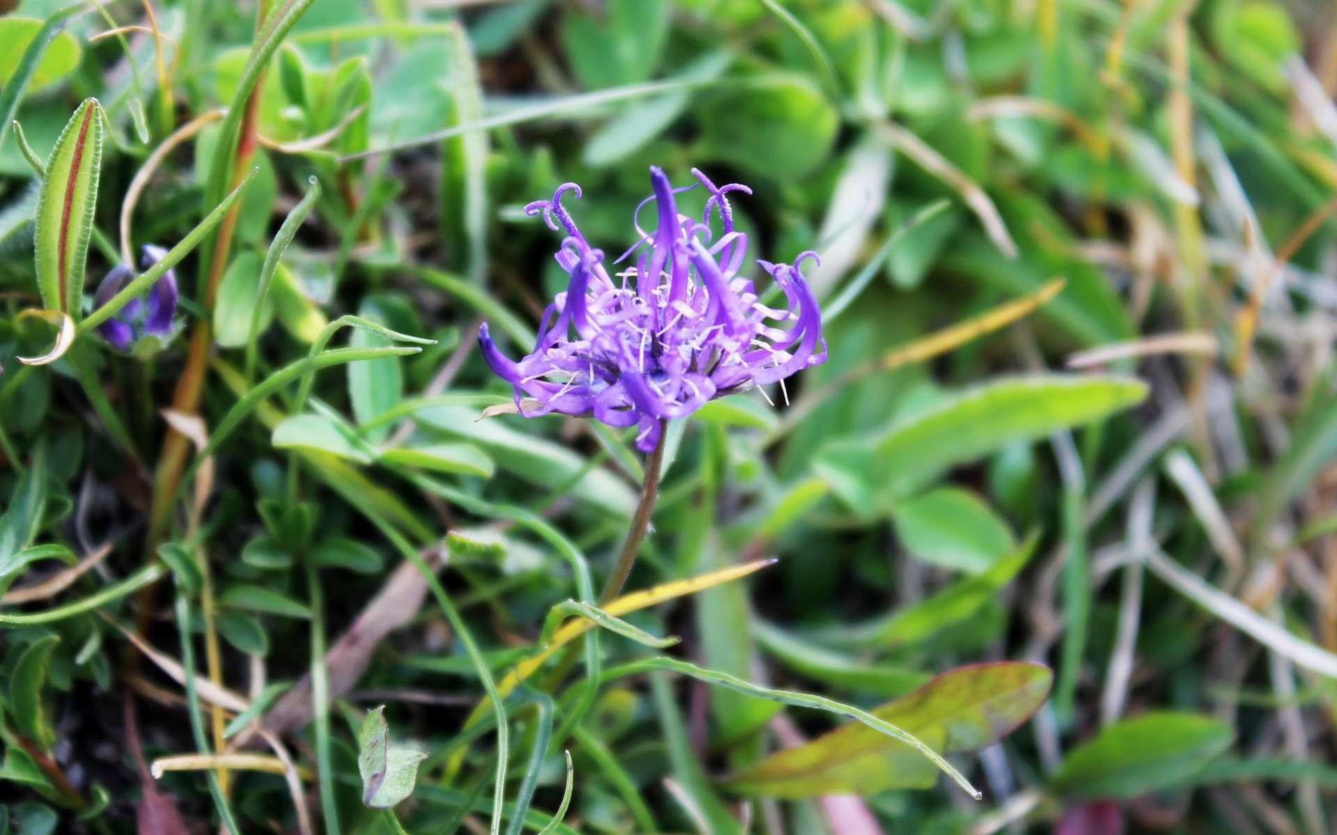 Raiponce hémisphérique - fleurs (Crédits : Léa Charbonnier)