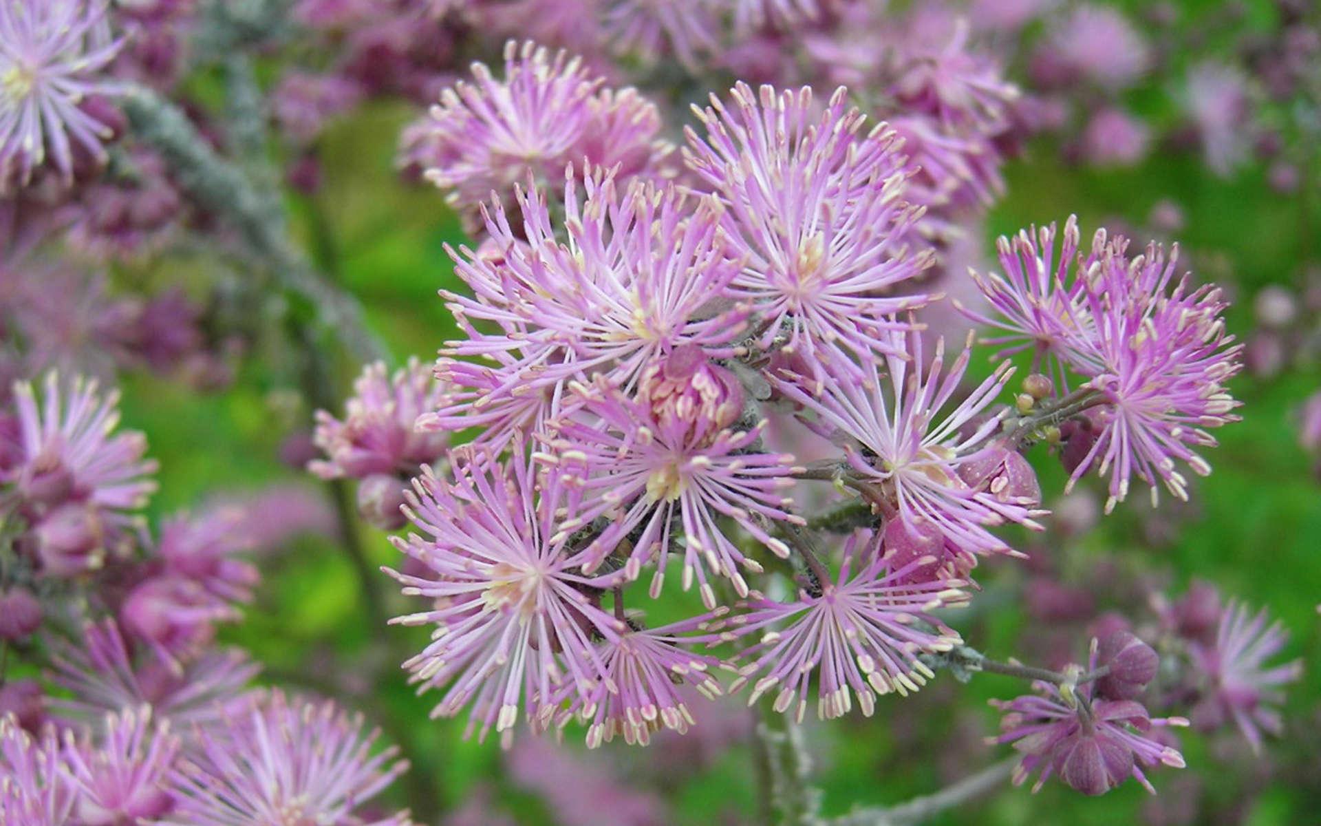 Pigamon à feuilles d'ancolie (Crédits: AnnaKika - Flickr)
