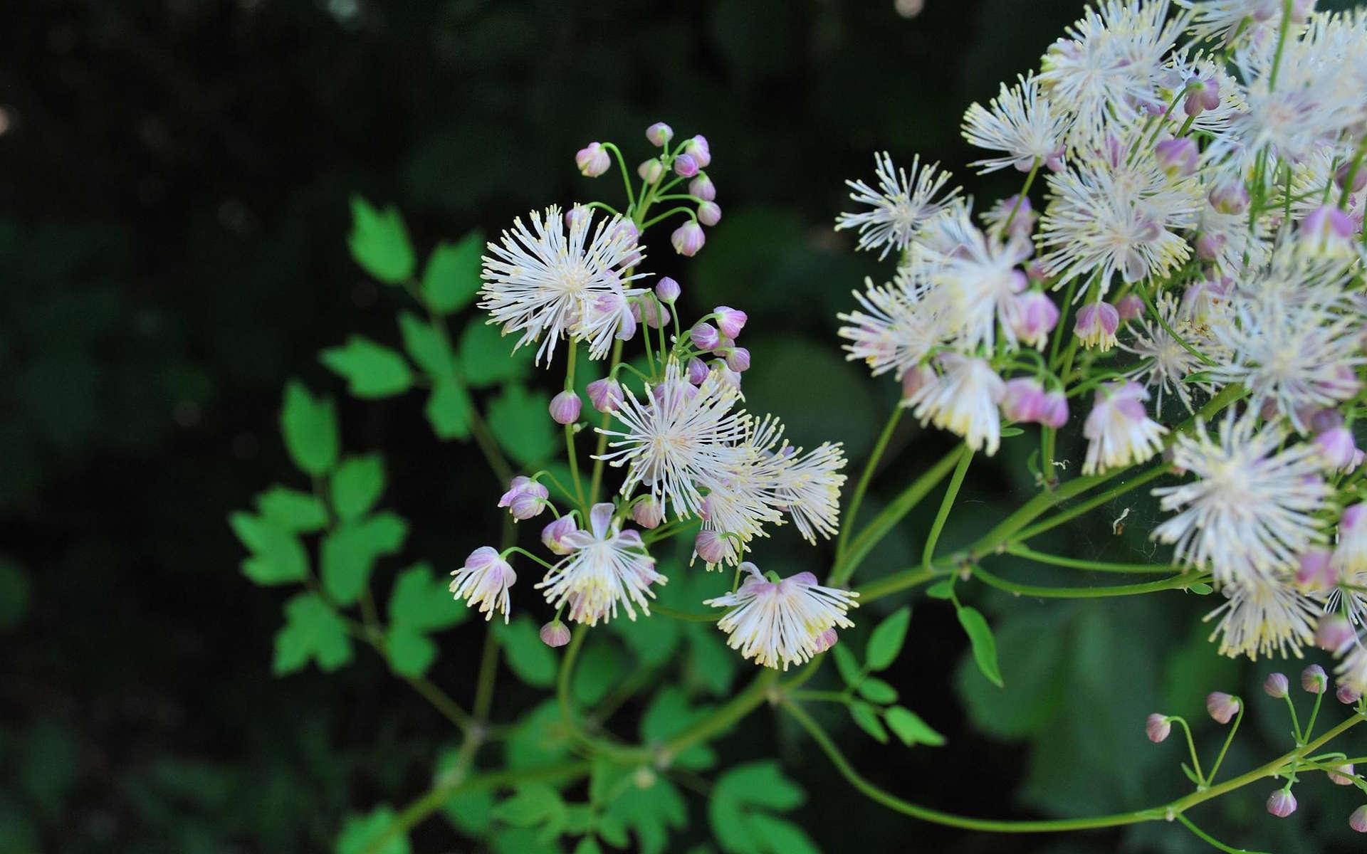 Pigamon à feuilles d'ancolie (Crédits: Tsiegretlop - Flickr)