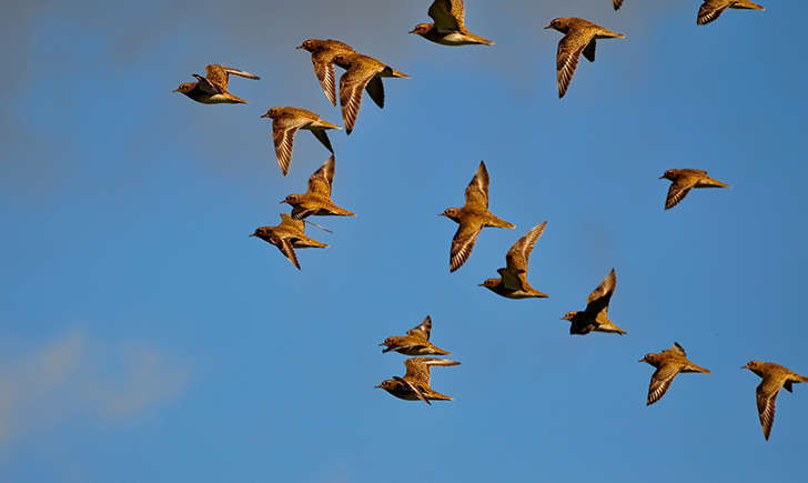 Pluvier doré en vol (Crédits: Steve Slater - flickr)