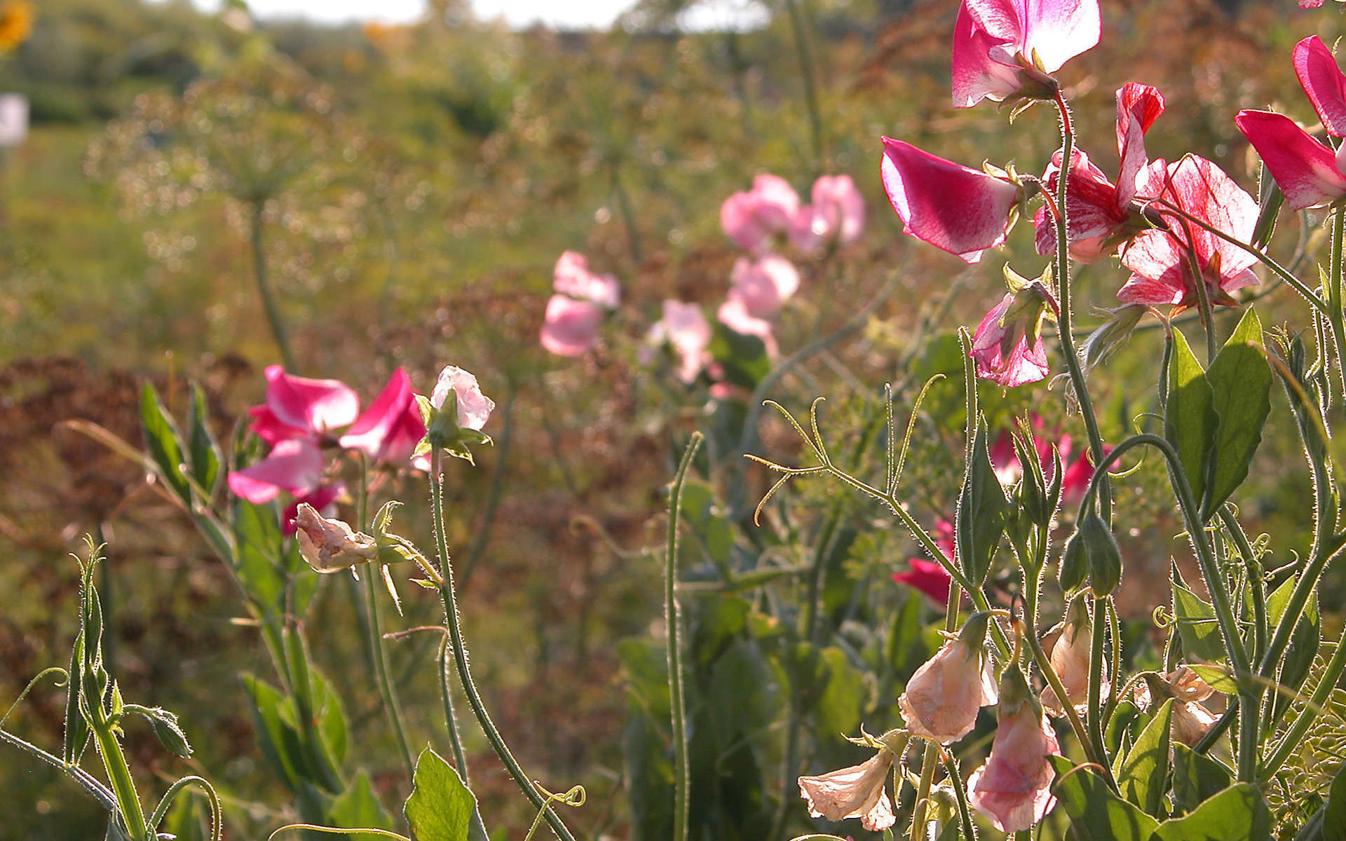 Pois de senteur (Crédits: Carl Lewis - Flickr)