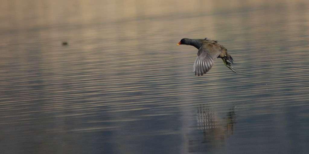 Gallinule poule-d'eau en vol (Crédits: Luciano_95)