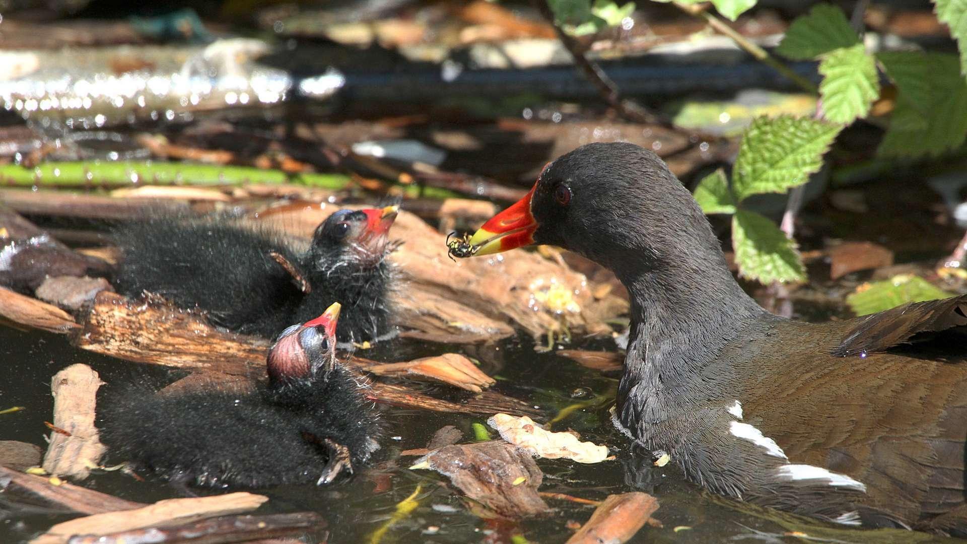 Gallinule poule-d'eau avec des jeunes (Crédits: Claude Valette)