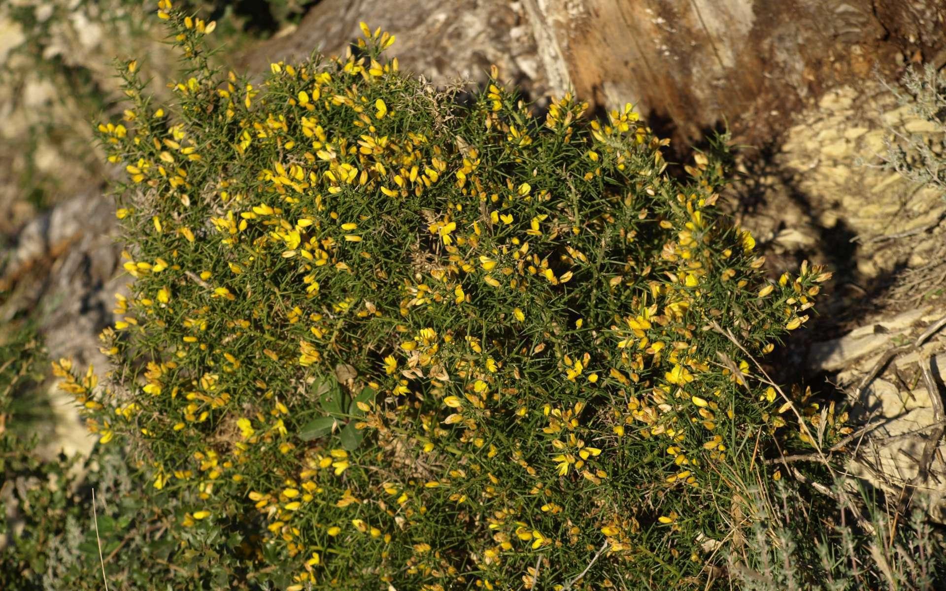 Genêt scorpion - vue d'ensemble avec les fleurs (Crédits : Sabine Meneut)