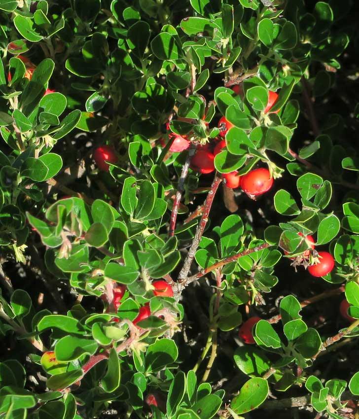 Raisin d'ours fruits Crédits John Rusk