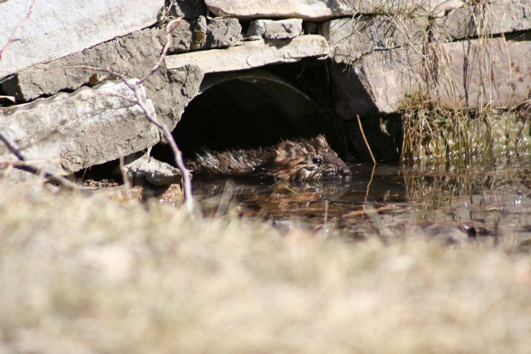 Rat musqué (Ondatra zibethicus) en train de nager